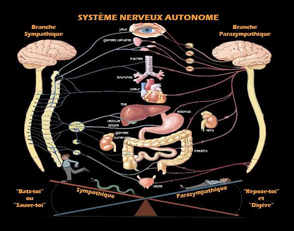 Système nerveux autonome - Équilibre NeuroDynamique